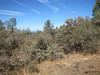 Birchleaf mountain mahogany - Cercocarpus montanus var. glaber (CEMOG)