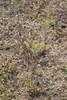 Barestem biscuitroot - Lomatium nudicaule (LONU2)  Photo by Jonathon Goldhammer