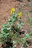 California goldenbanner - Thermopsis californica var. argentata (THCAA)  Photo by Jonathon Goldhammer