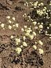 Naked buckwheat - Eriogonum nudum (ERNU3)