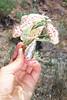 Balloonpod milkvetch - Astragalus whitneyi var. whitneyi (ASWHW)  Photo by Jonathon Goldhammer