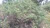 desert snowberry - Symphoricarpos longiflorus (SYLO)