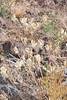 Nineleaf biscuitroot - Lomatium triternatum (LOTR2)  Photo by Jonathon Goldhammer