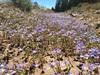Bach's calicoflower - Downingia bacigalupii (DOBA)