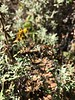 Seaside woolly sunflower - Eriophyllum stoechadifolium (ERST9)