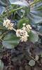 snowbrush ceanothus - Ceanothus velutinus (CEVE)