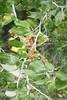 coast whitethorn - Ceanothus incanus (CEIN)