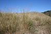 Lemmon's needlegrass - Achnatherum lemmonii var. lemmonii (ACLEL)