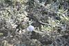 Blueblossom - Ceanothus thyrsiflorus (CETH)