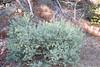Hairy manzanita - Arctostaphylos columbiana (ARCO3)