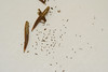 Orange bush monkeyflower - Diplacus aurantiacus ssp. aurantiacus (DIAUA)