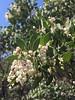 whiteleaf manzanita - Arctostaphylos manzanita subsp. manzanita (ARMAM2)