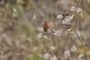 naked buckwheat - Eriogonum nudum var. auriculatum (ERNUA)