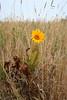 California compassplant - Wyethia angustifolia (WYAN)