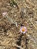 California sandaster - Corethrogyne filaginifolia var. californica (COFIC)