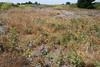 Lake Huron tansy - Tanacetum bipinnatum (TABI)