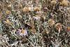 Common sandaster - Corethrogyne filaginifolia (COFI2)