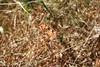bull clover - Trifolium fucatum (TRFU)
