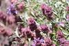 purple sage - Salvia dorrii subsp. dorrii  (SADOD2)
