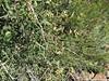 common snowberry - Symphoricarpos albus (SYAL)