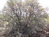 curl-leaf mountain mahogany - Cercocarpus ledifolius var. intercedens (CELEI4)