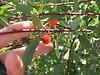 bitter cherry - Prunus emarginata (PREM)