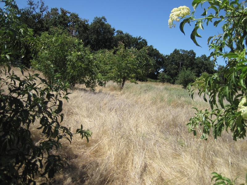 Black elderberry - Sambucus nigra (SANI4)
