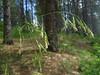 California fescue - Festuca californica (FECA)