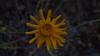Common woolly sunflower - Eriophyllum lanatum var. achillaeoides (ERLAA)