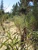 California yerba santa - Eriodictyon californicum (ERCA6)