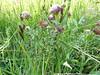 Longstalk clover - Trifolium longipes (TRLO)