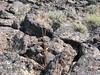 Nineleaf biscuitroot - Lomatium triternatum (LOTR2)