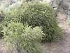 Sierra gooseberry - Ribes roezlii (RIRO)