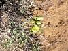 Bladderpod spiderflower - Cleome isomeris (CLIS)
