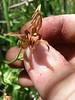 stream orchid - Epipactis gigantea (EPGI)