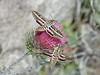 cobwebby thistle - Cirsium occidentale var. venustum (CIOCV)
