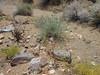 Desert fivespot - Eremalche rotundifolia (ERRO8)