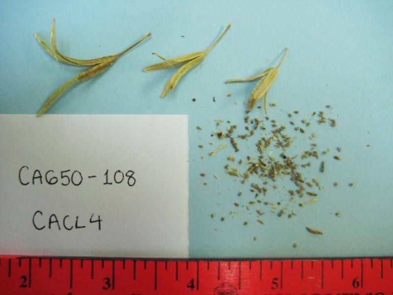 browneyes - Camissonia claviformis subsp. aurantiaca (CACLA2)