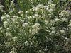 Desert pepperweed - Lepidium fremontii (LEFR2)