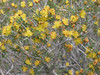 Blackbrush - Coleogyne ramosissima (CORA)