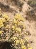 Rayless goldenhead - Acamptopappus sphaerocephalus (ACSP)