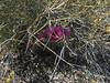 Nevada jointfir - Ephedra nevadensis (EPNE)