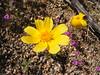 Bigelow's tickseed - Coreopsis bigelovii (COBI)
