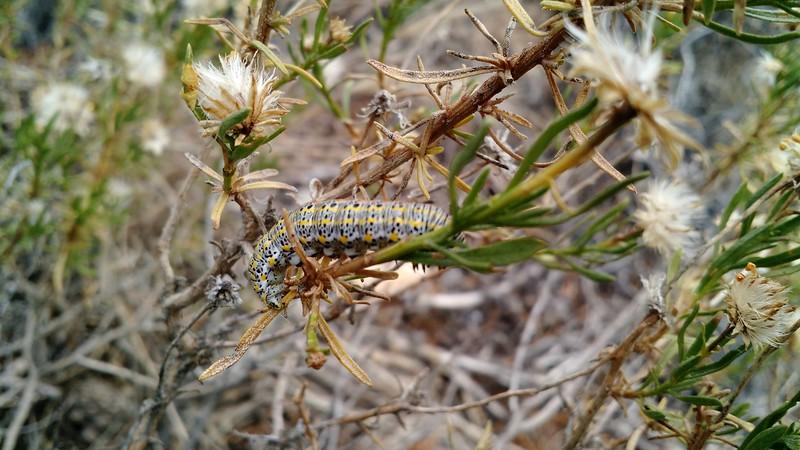 narrowleaf goldenbush - Ericameria linearifolia (ERLI6)