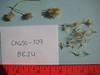 sweetbush - Bebbia juncea (BEJU)