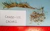 heartleaf suncup - Camissonia cardiophylla subsp. robusta (CACAR2)