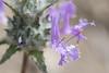 Thistle sage - Salvia carduacea (SACA8)