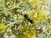 Mojave cleomella - Cleomella obtusifolia (CLOB)