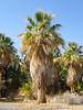 California fan palm - Washingtonia filifera (WAFI)