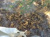screwbean mesquite - Prosopis pubescens (PRPU)